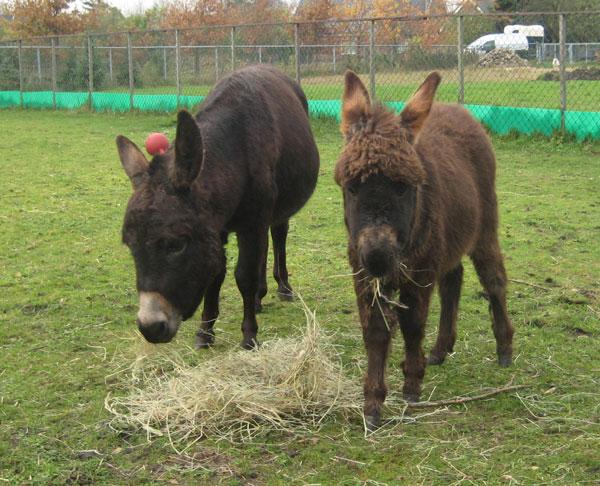 Marsala Miniature Donkeys